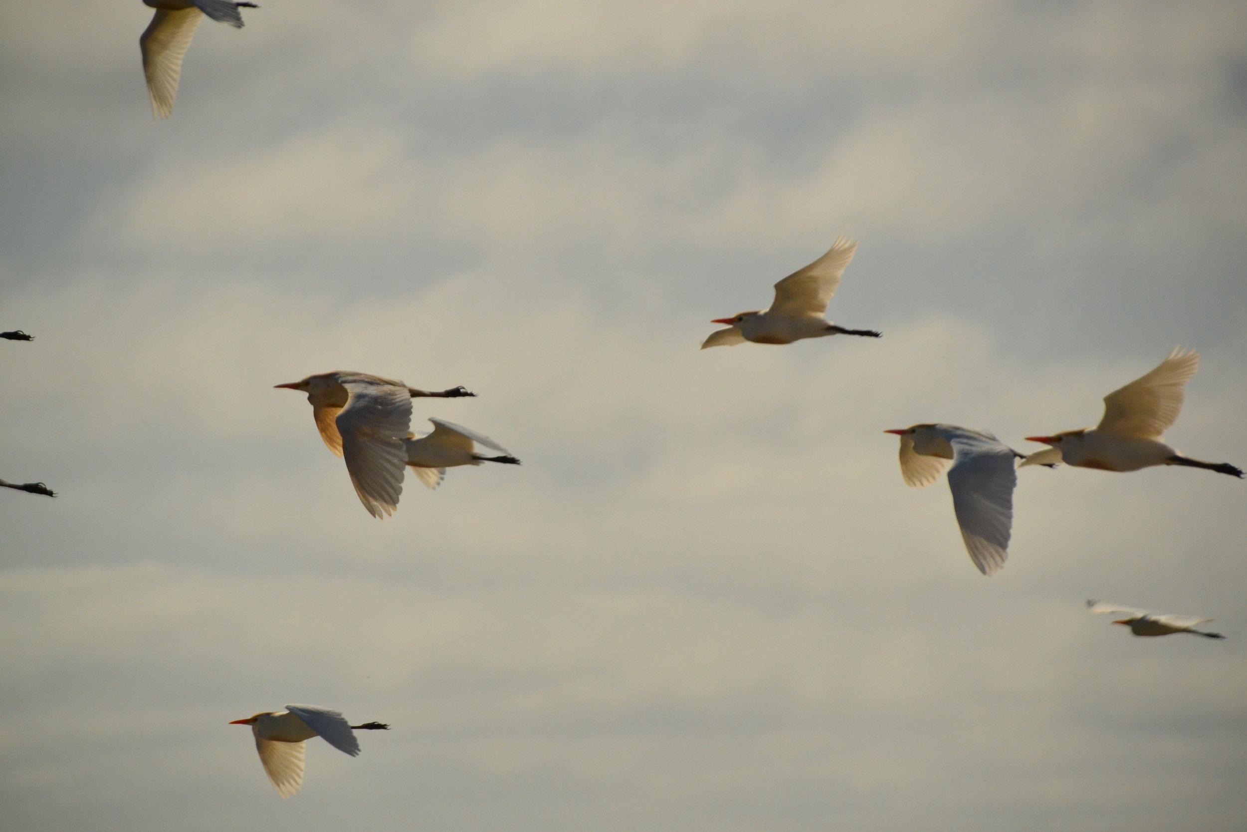 Cattle Egrets in flight.