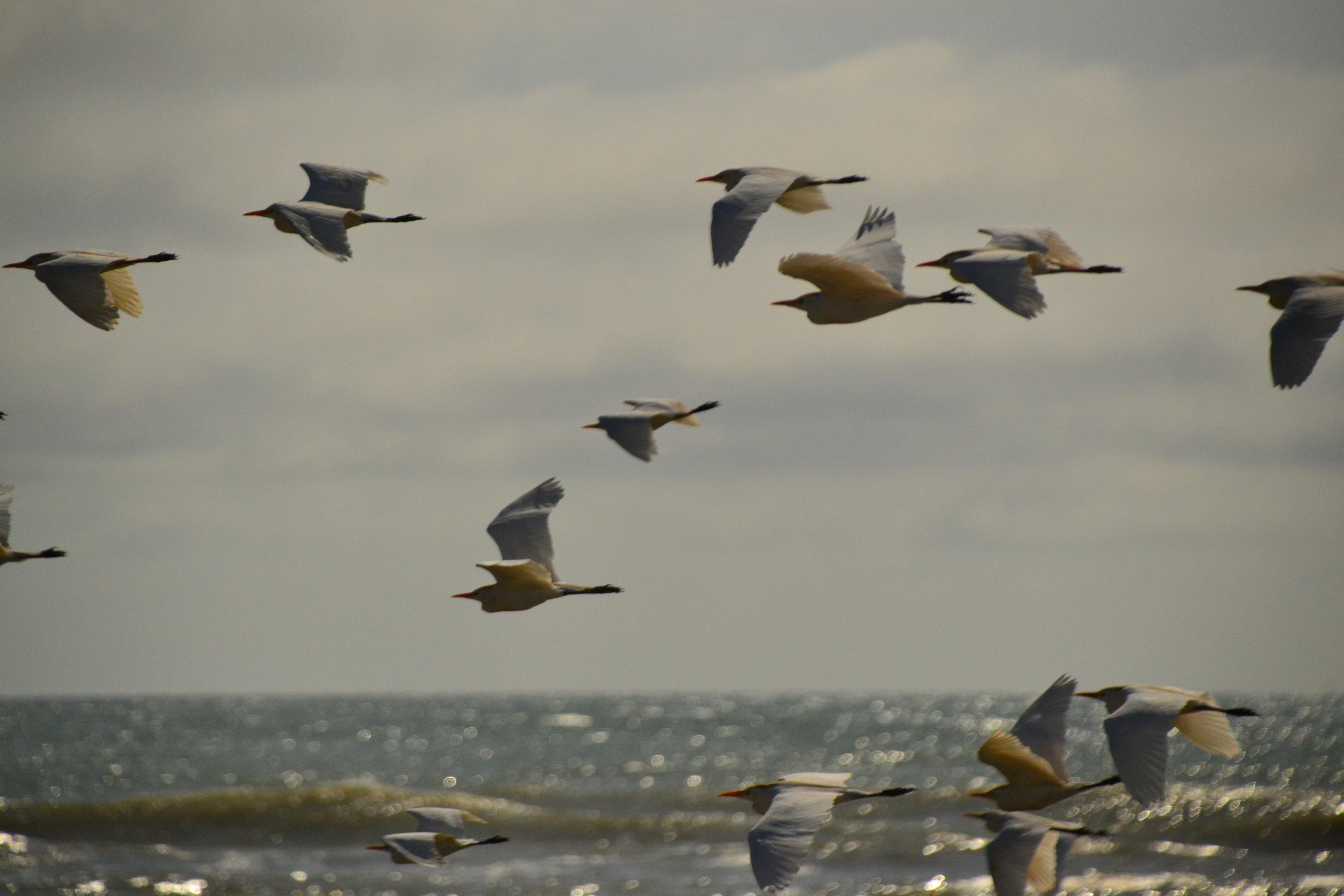 Breeding adult cattle egrets in flight.