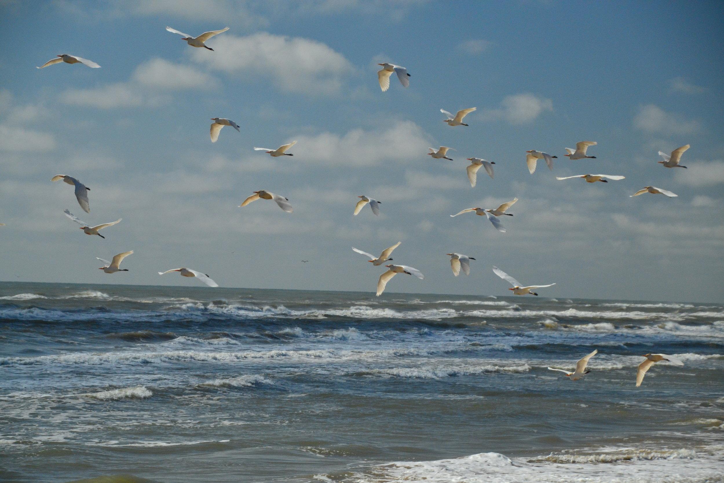 Spring Bird migration north. - Padre Island National Seashore