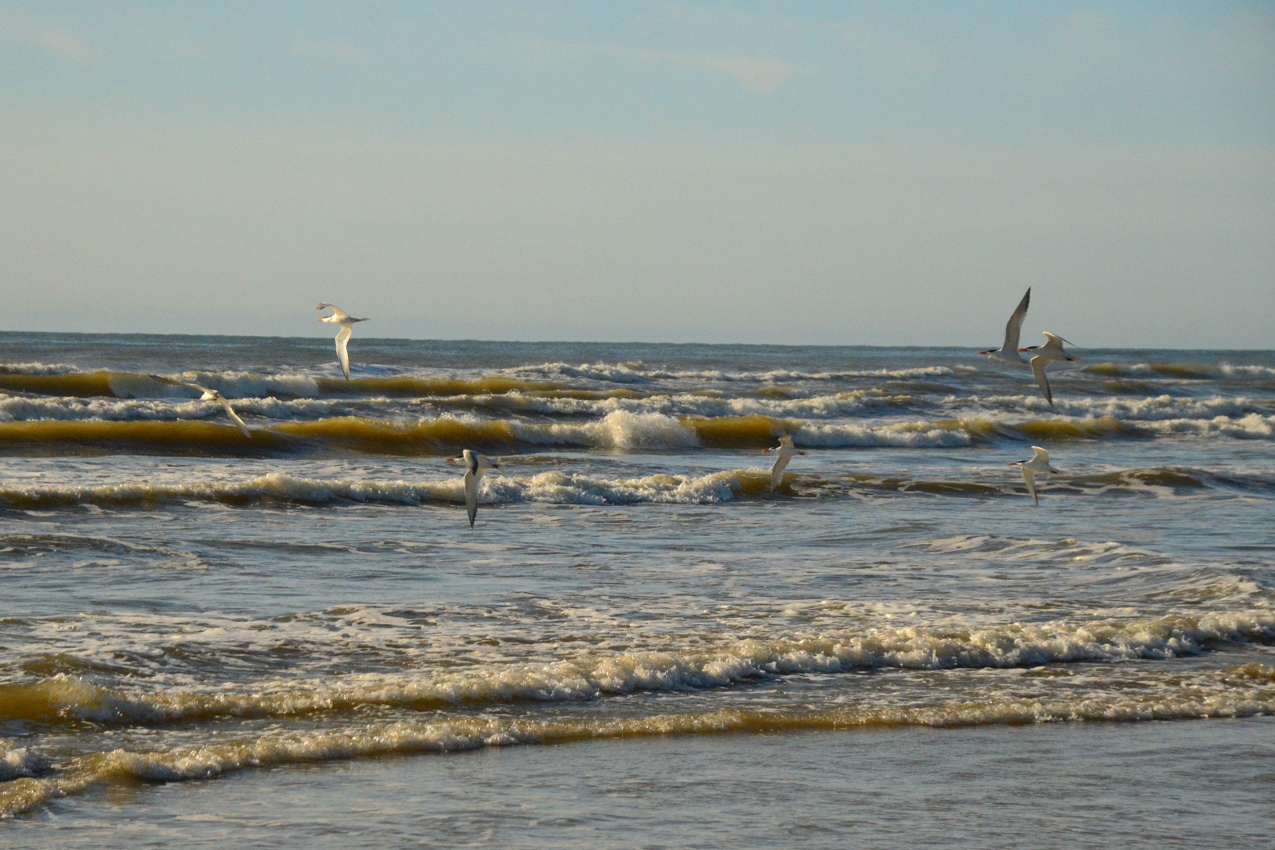 Royal terns in flight.