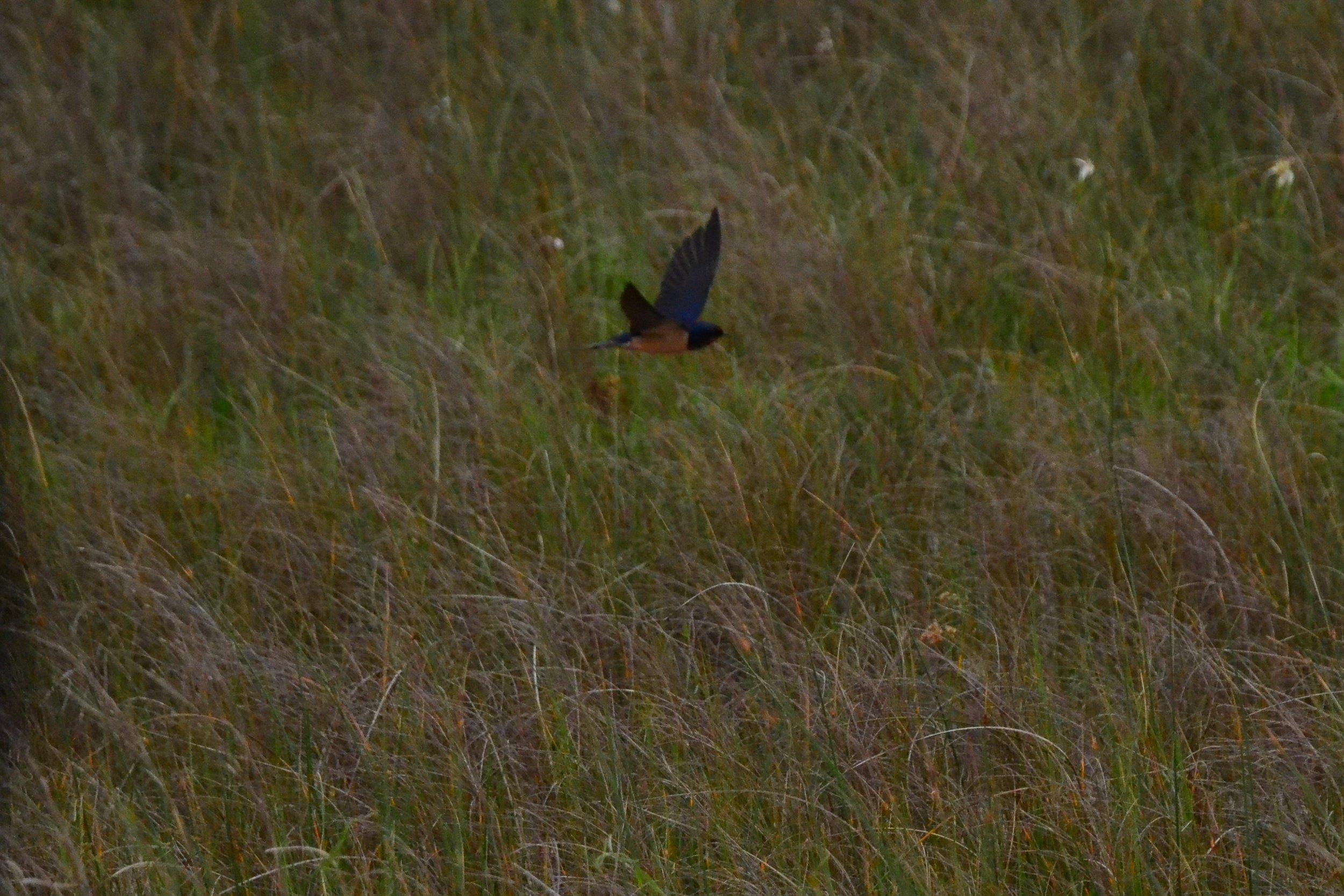 Barn swallows.