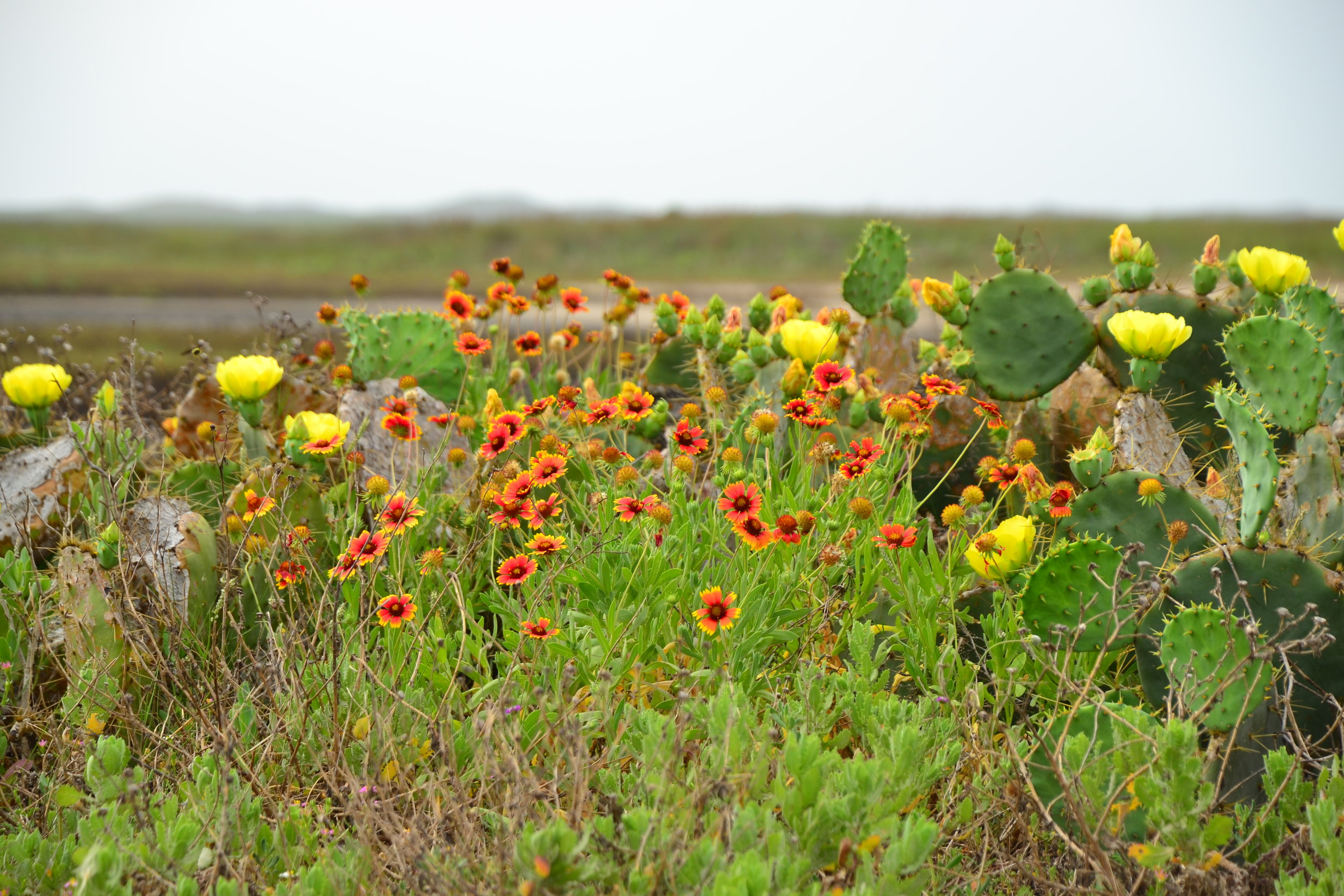 30 knot SE gusts, Barn swallows migrating, Prickly Pear cactus in bloom - Padre Island National Seashore