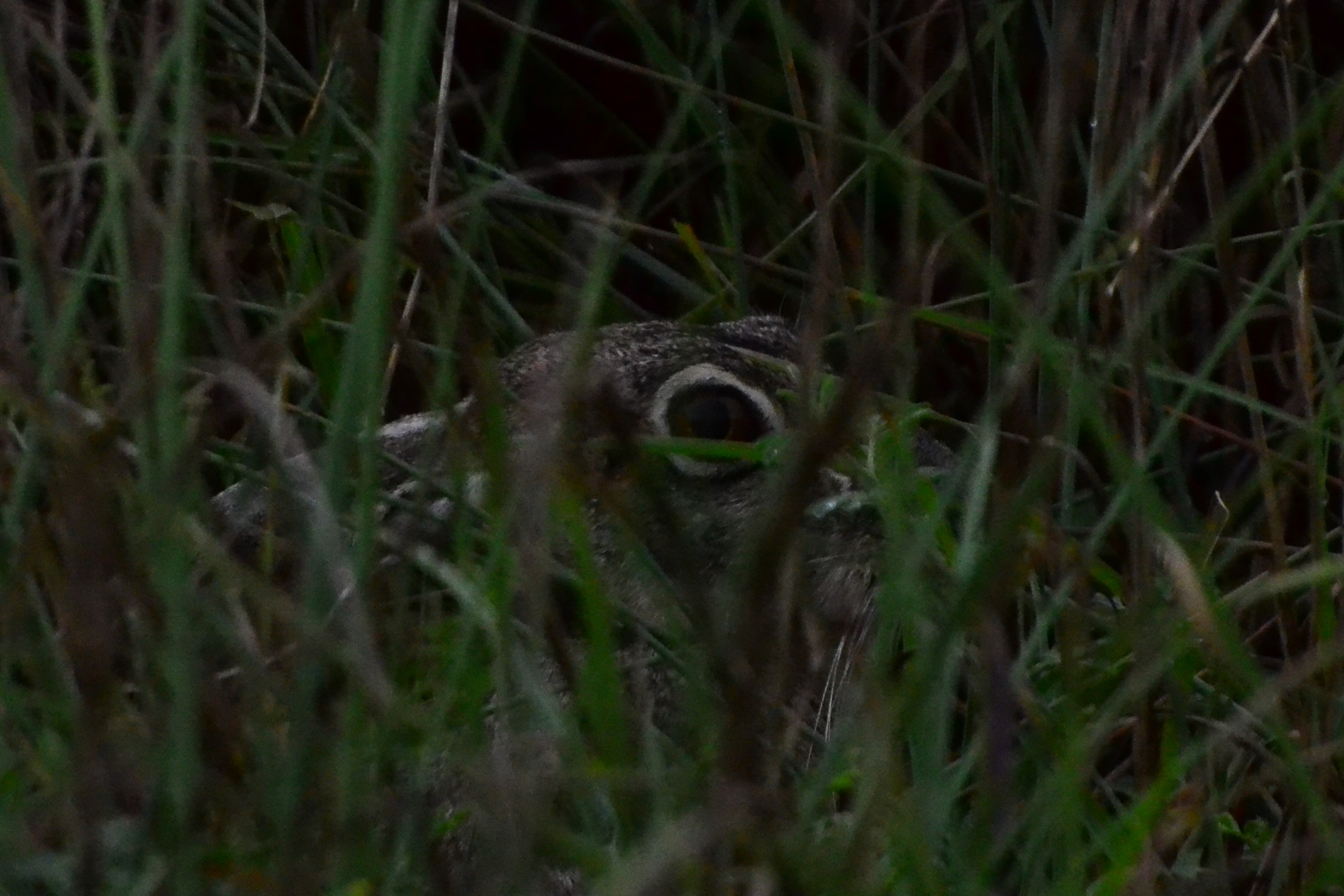 Hiding adult black tailed jackrabbit.