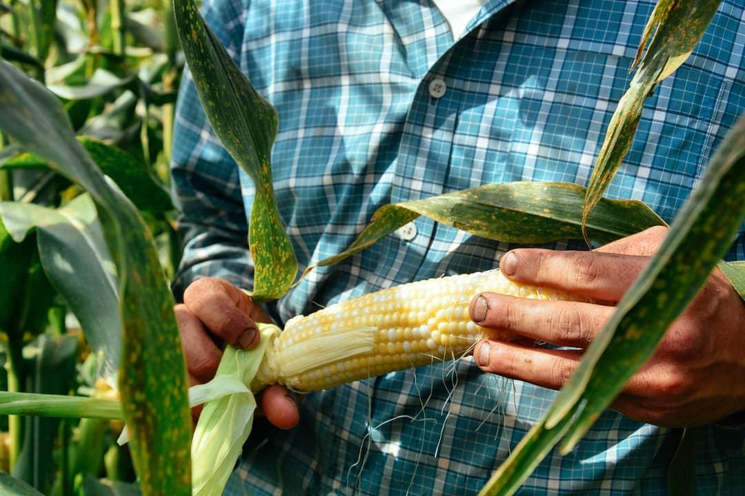 2018 first corn.jpg