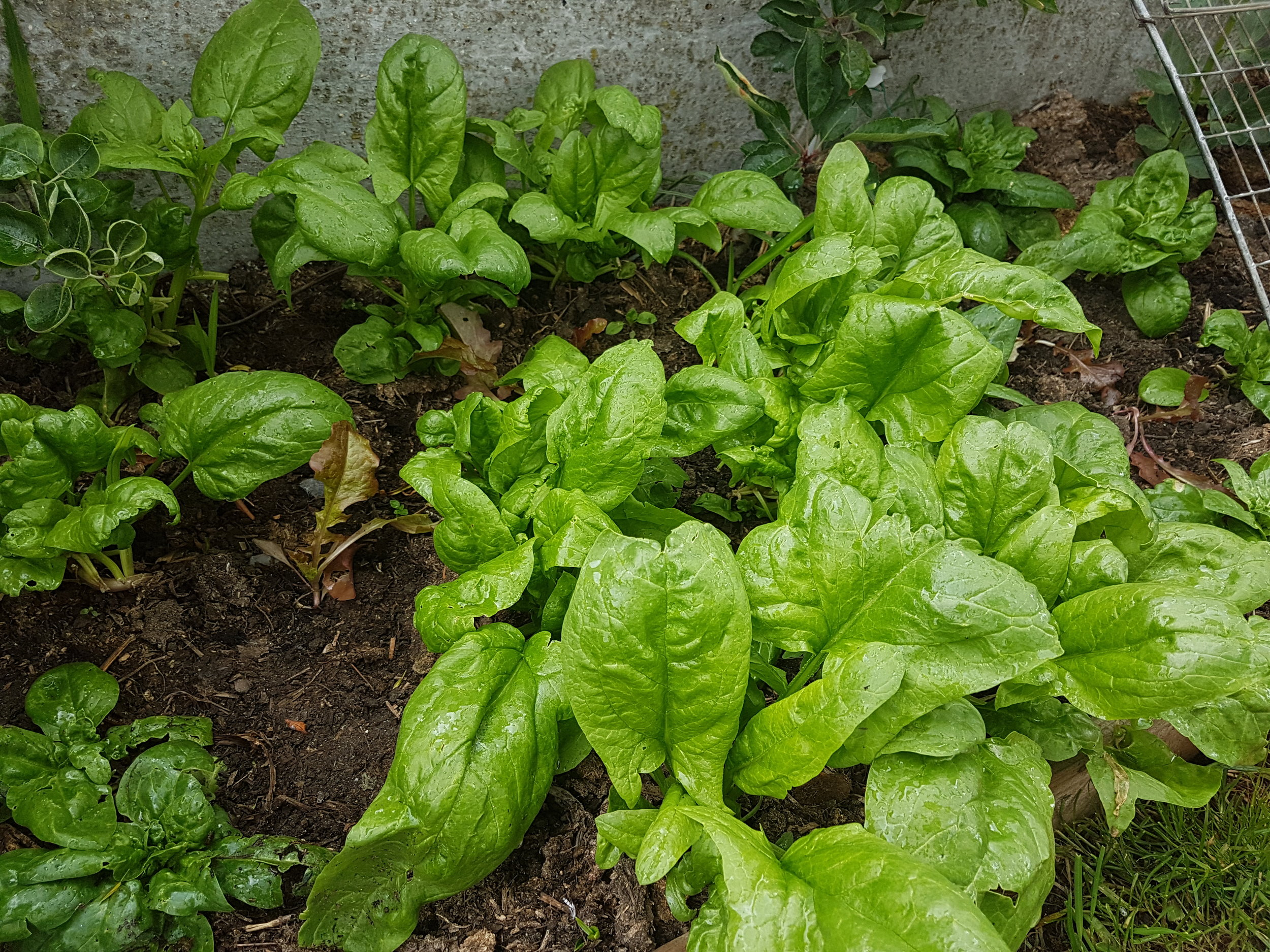 Spinach is easy to grow and a great homegrown veggie