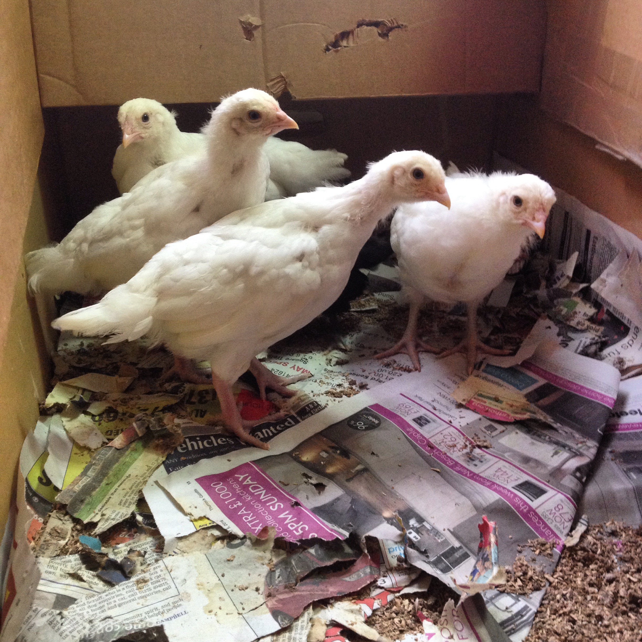 Four young Ixworth chicks
