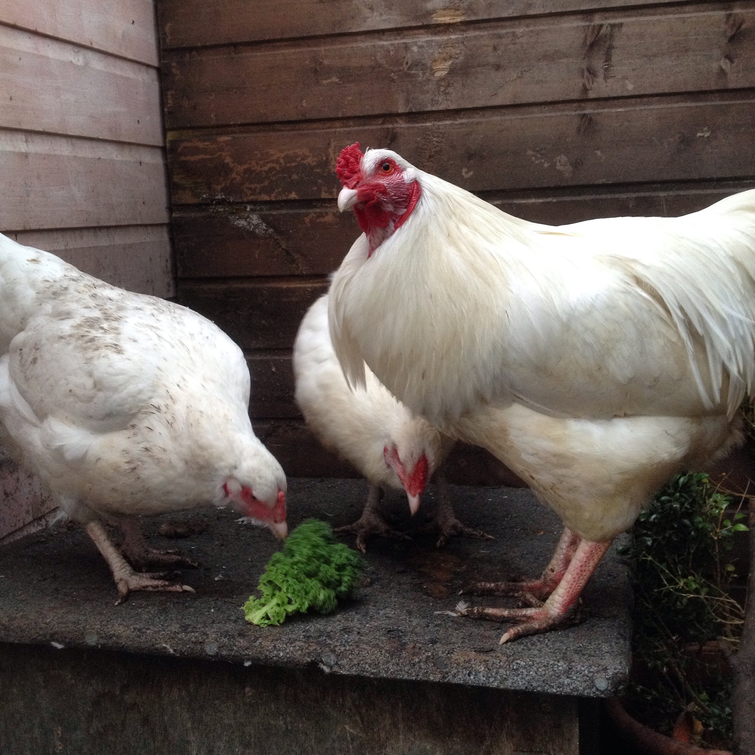 Ixworth rooster with two hens.