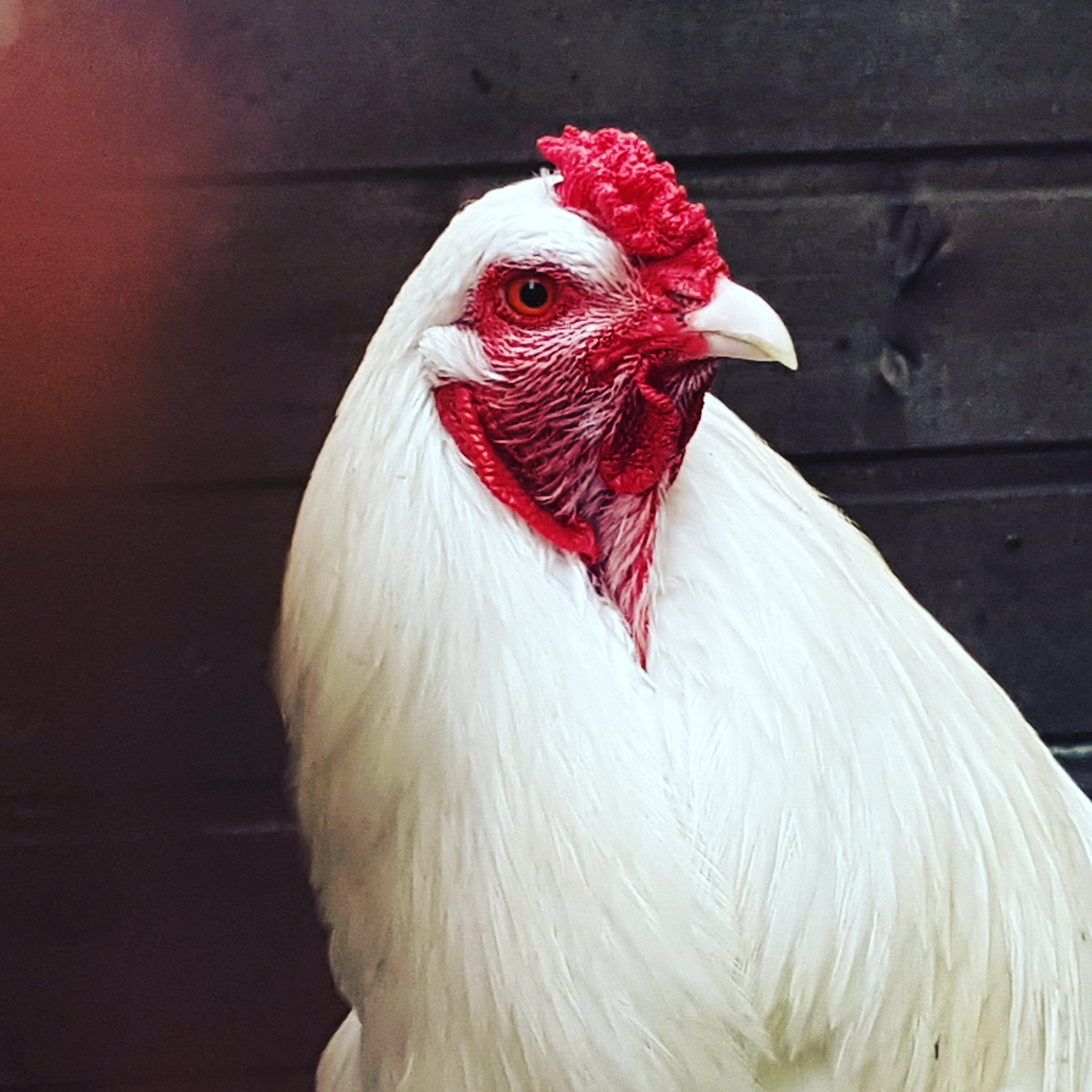Mature Ixworth cockerel