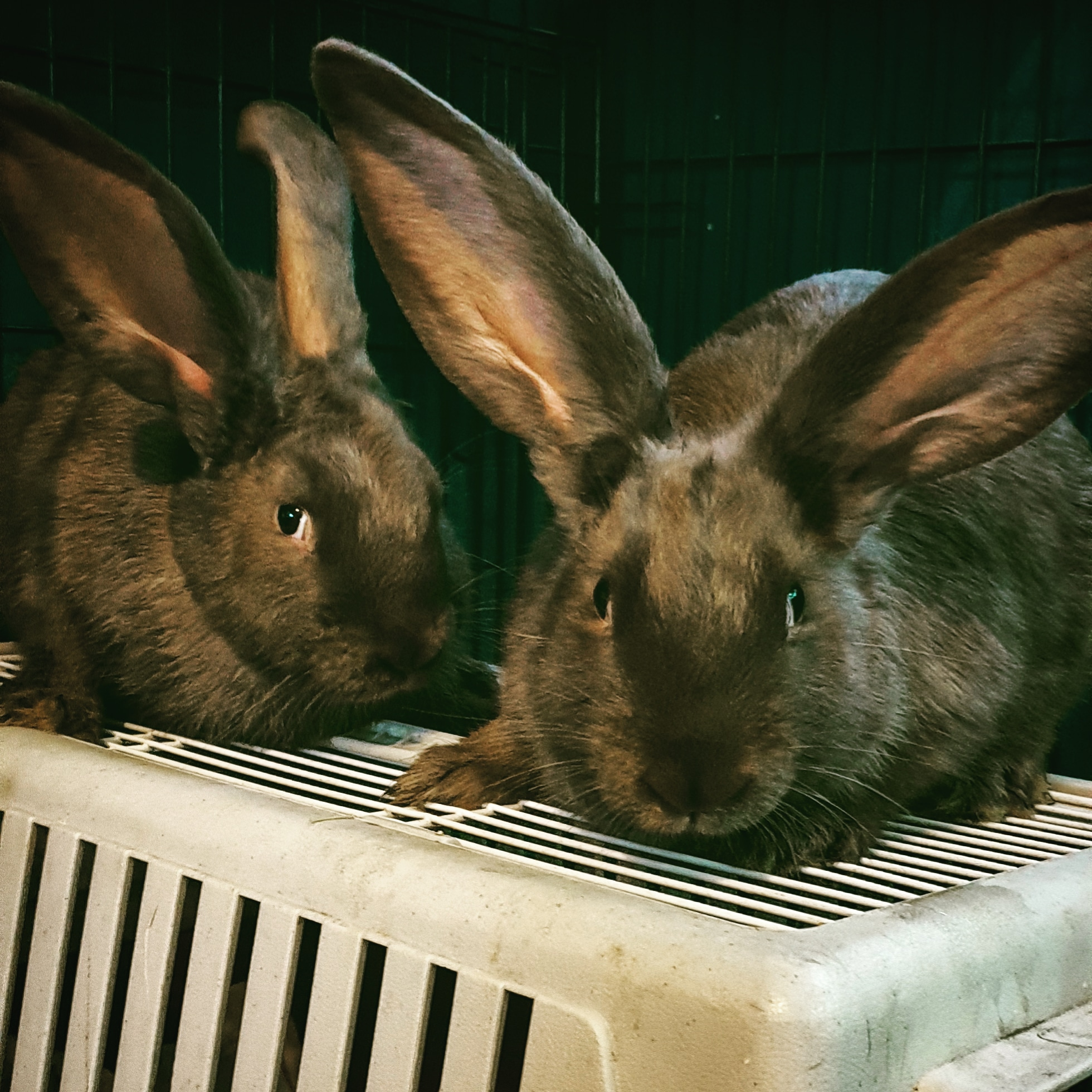Meat Rabbits - We breed a group of New Zealand/Californian cross meat rabbits. Kits are born in a variety of colours including black, brown, grey and blue. Please contact us for availability of does and bucks.Does, Bucks, Pairs and Trio's available.