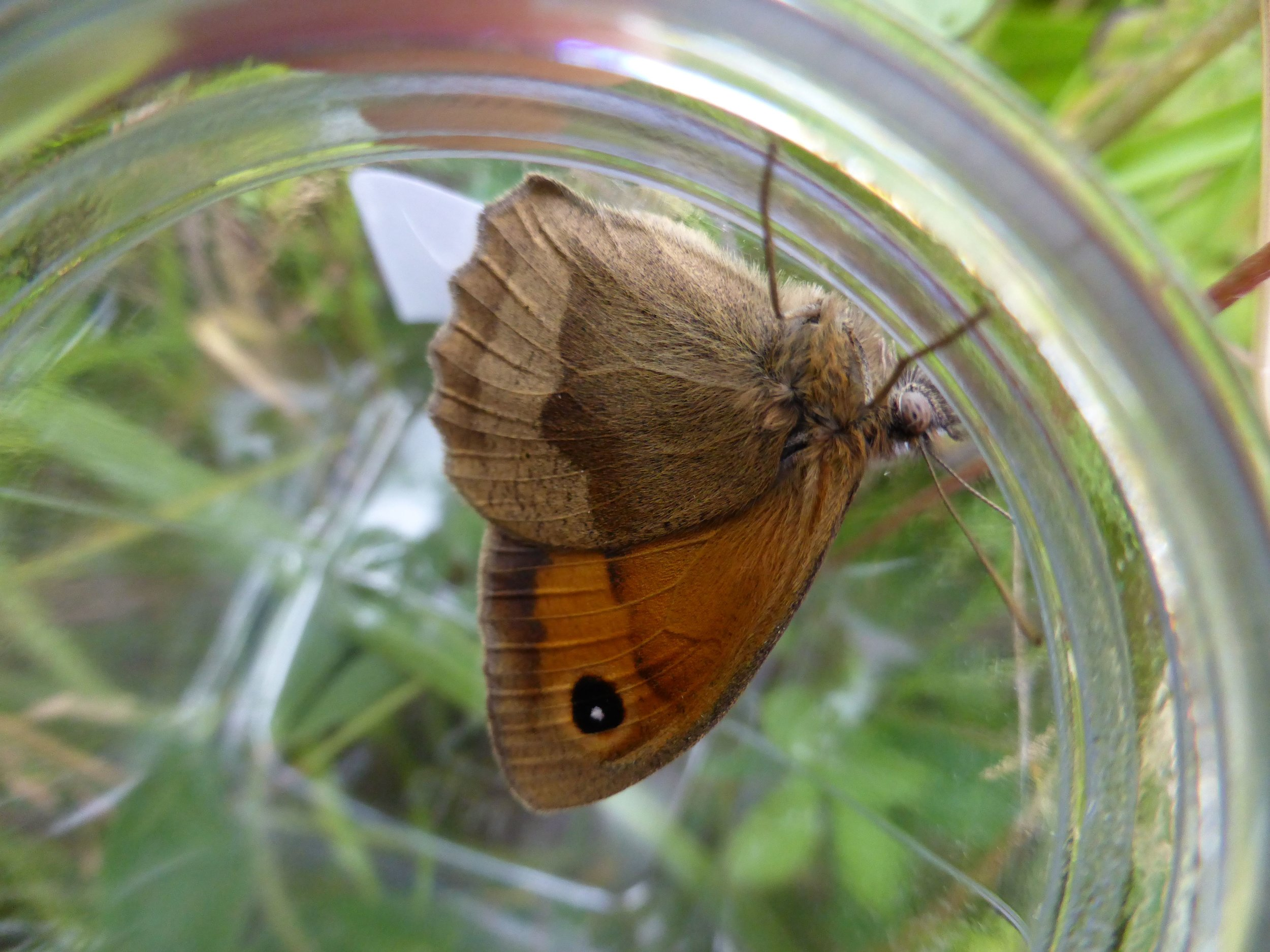 A meadow brown butterfly captured from long grass
