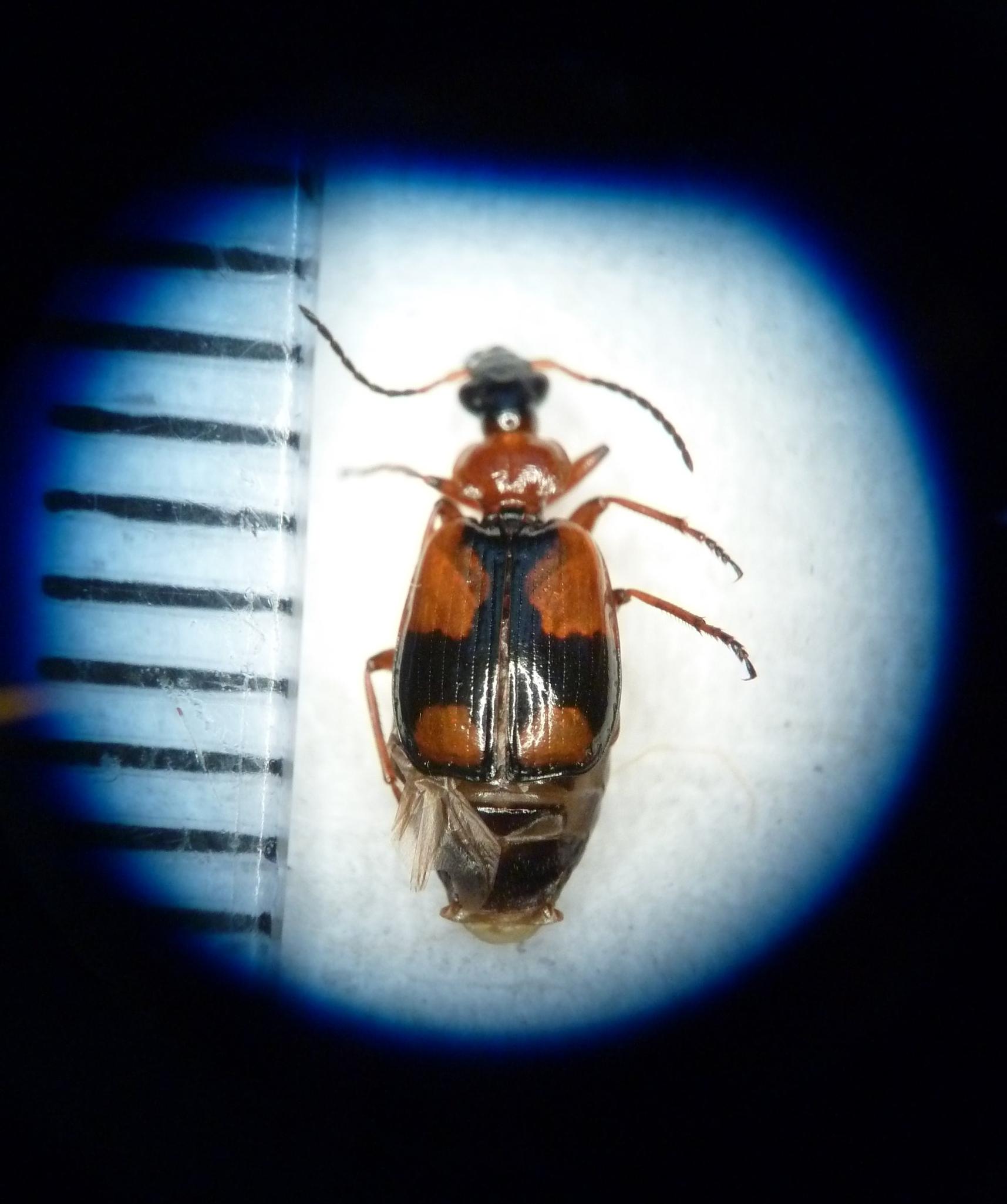 A  Lebia cruxminor s pecimen from Legume Futures