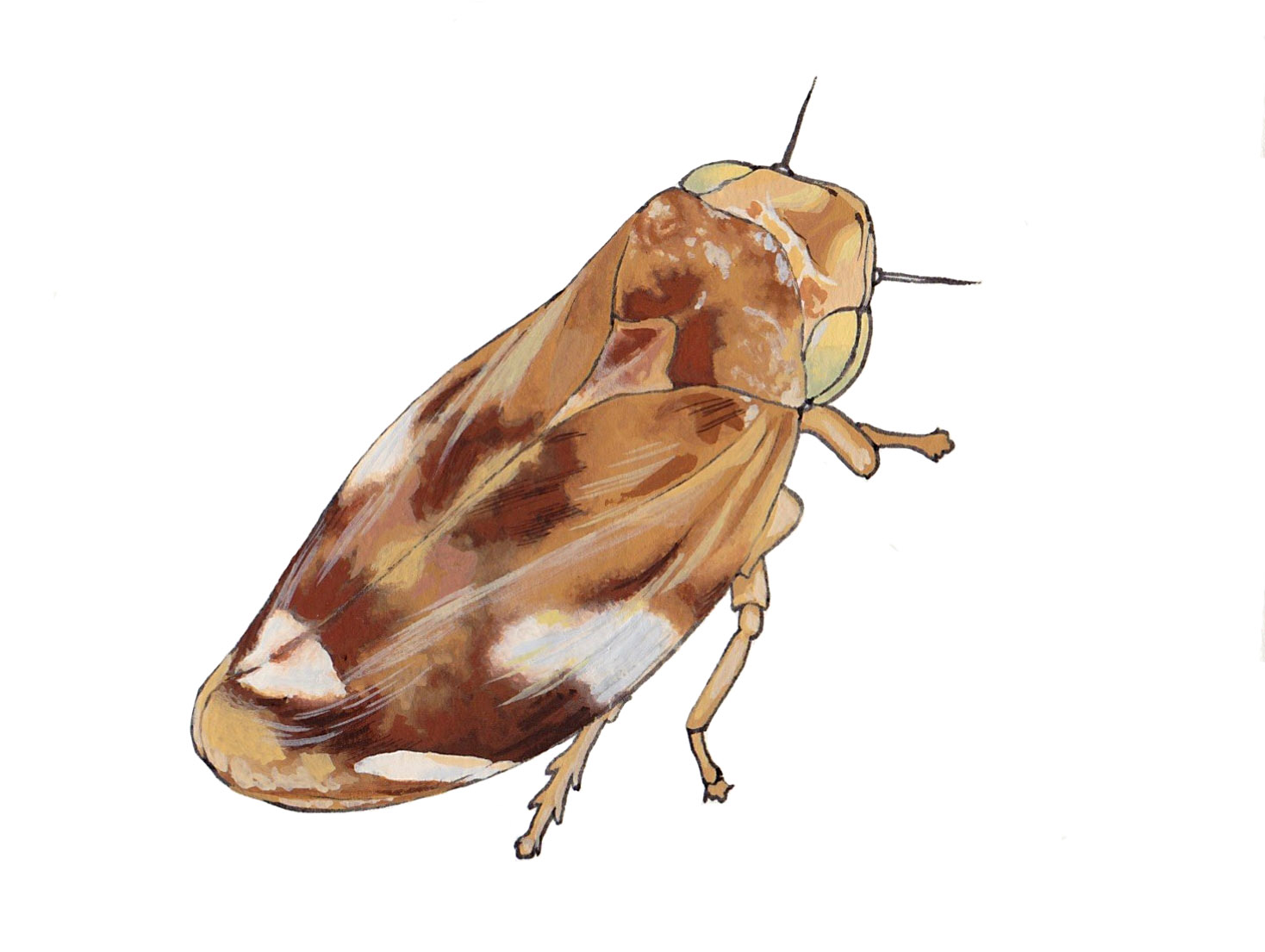 Froghopper (ink and gouache) for OWLS Club Guide to Garden Invertebrates.