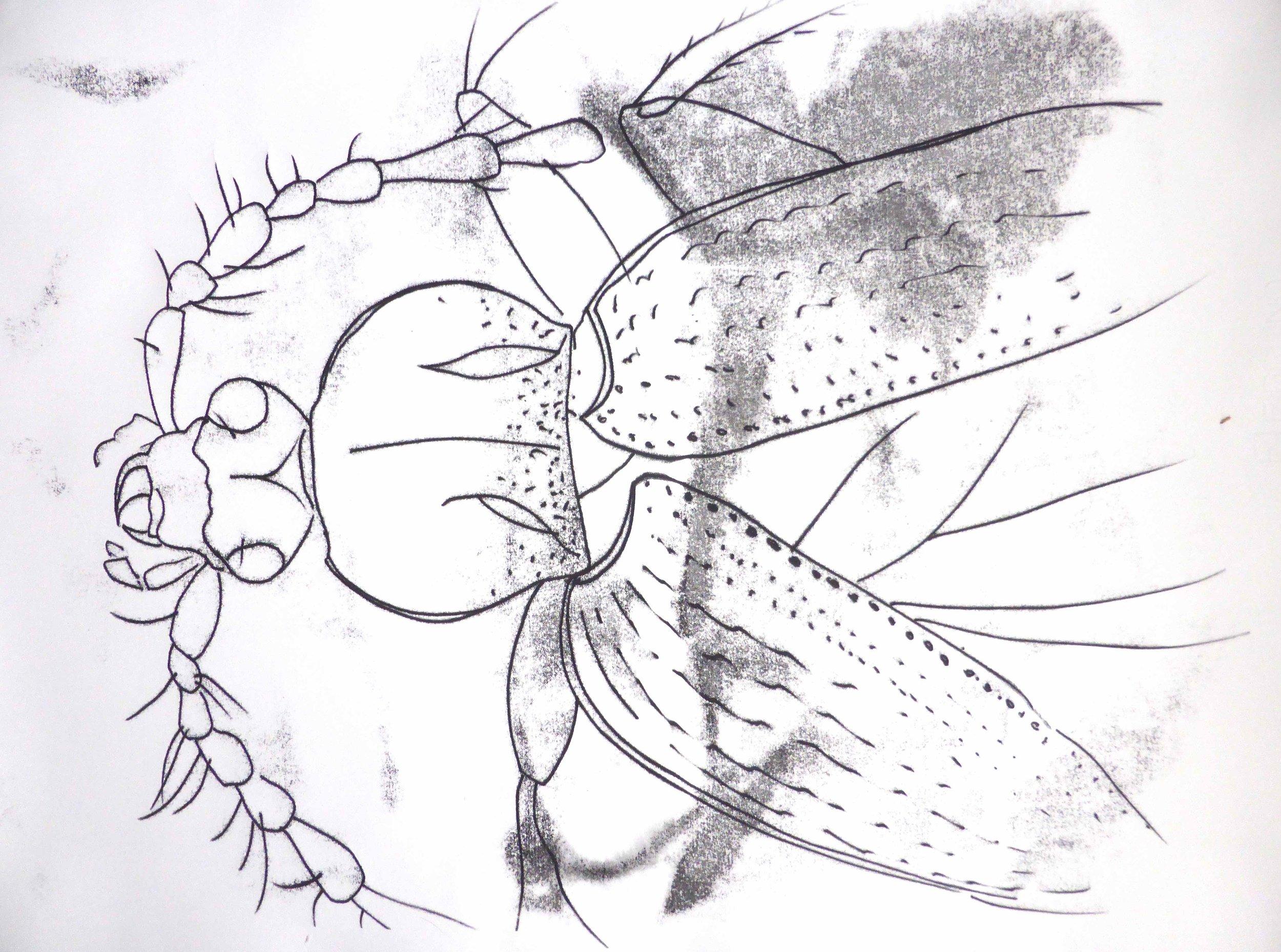 Loricera pilicornis  (monoprint), 2016. Dublin Naturalists' Members' Day , National Botanic Gardens of Ireland.