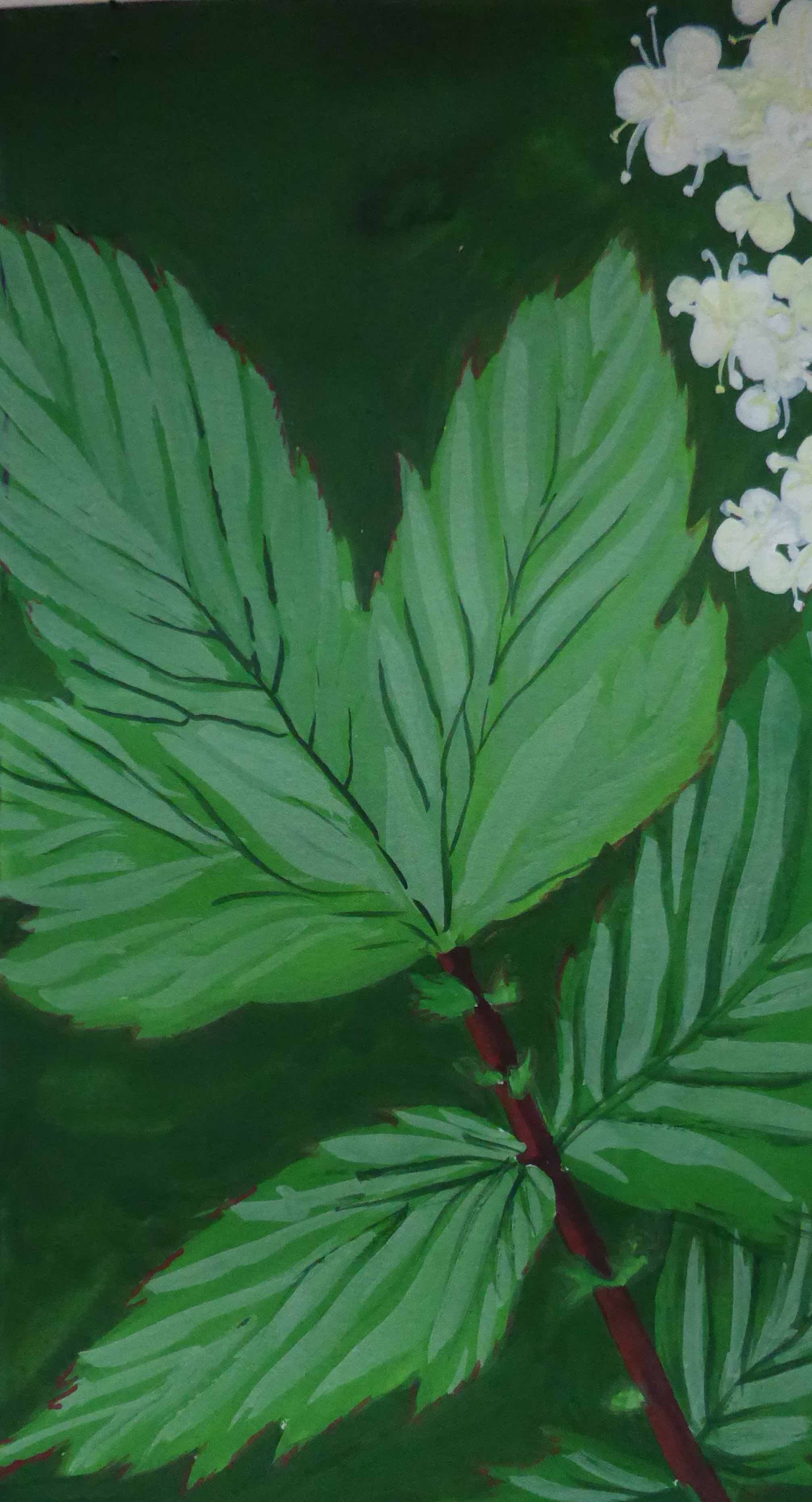 Detail from a sketch of Meadowsweet for Dublin Canvas public art project (gouache), 2017.