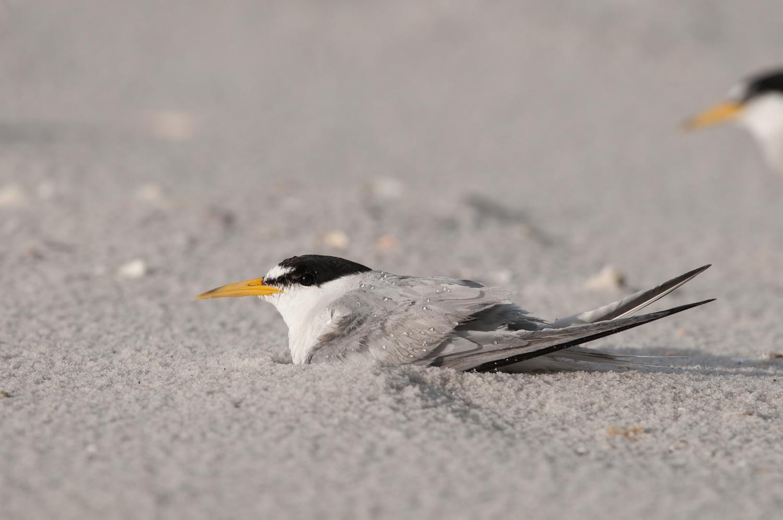 Least Terns thunderstorm-1.jpg