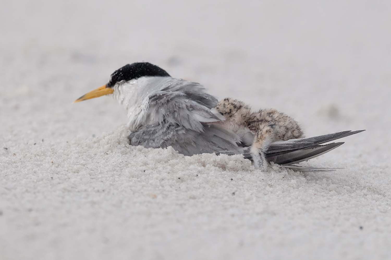 Least Terns thunderstorm-8.jpg