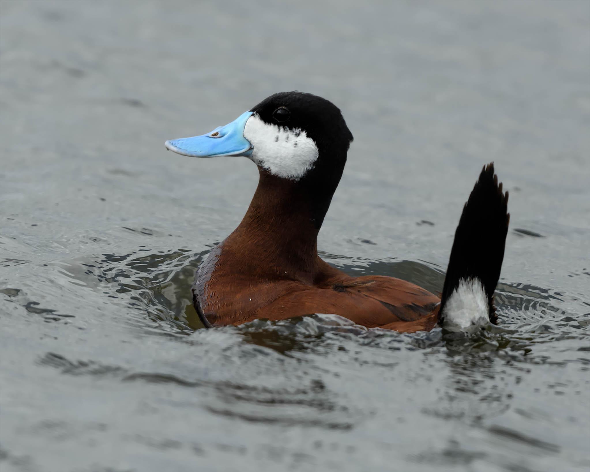 Ruddy Duck - Chase Lake NWR - North Dakota