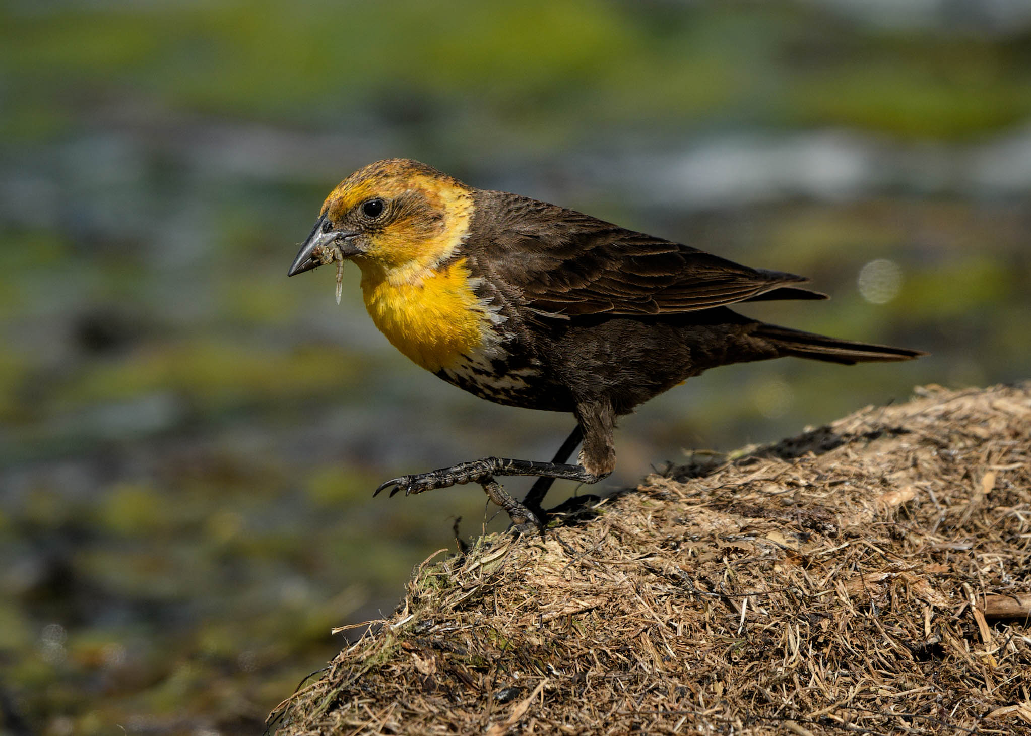 Yellow-headed Blackbird - Horsehead Lake WMA - North Dakota