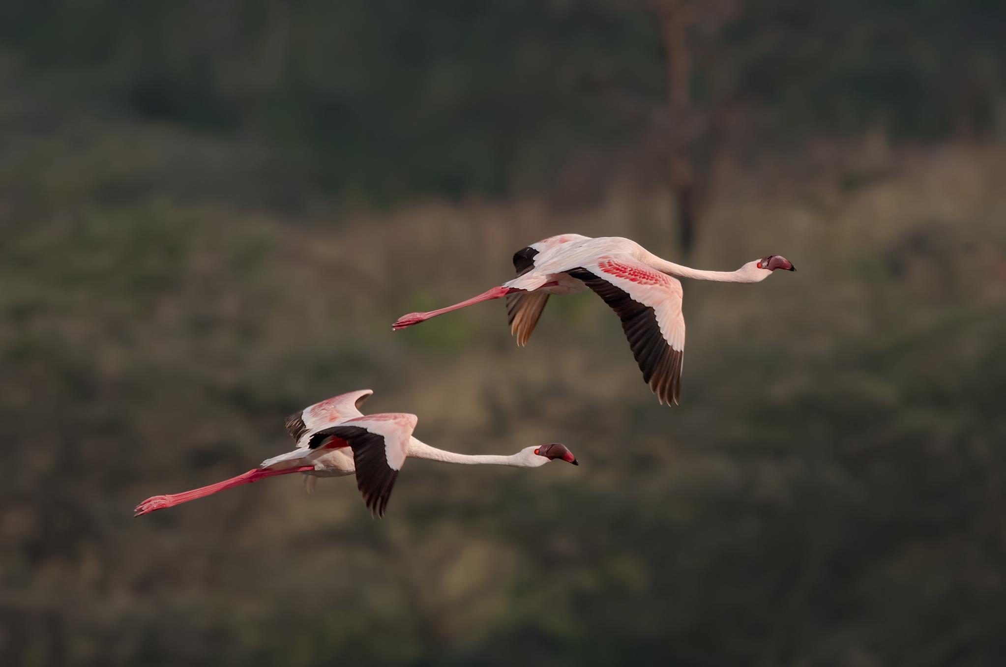 Lesserd Flamingo-7.jpg
