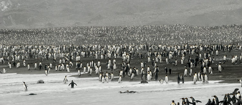 King Penguins, St. Andrews Bay, South Georgia - Feb. 2008