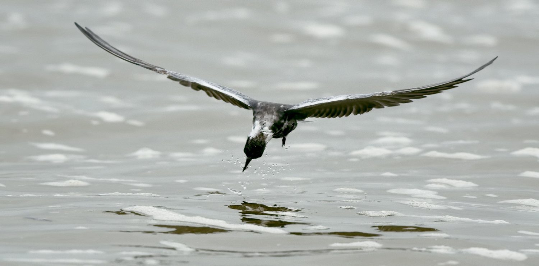 Black Tern - Rollover Pass, TX - April 2017