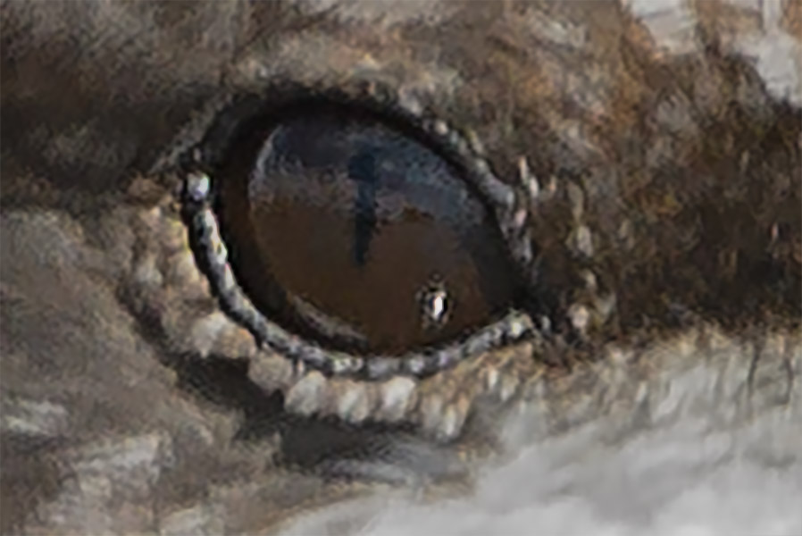 Slit Pupil of Black Skimmer