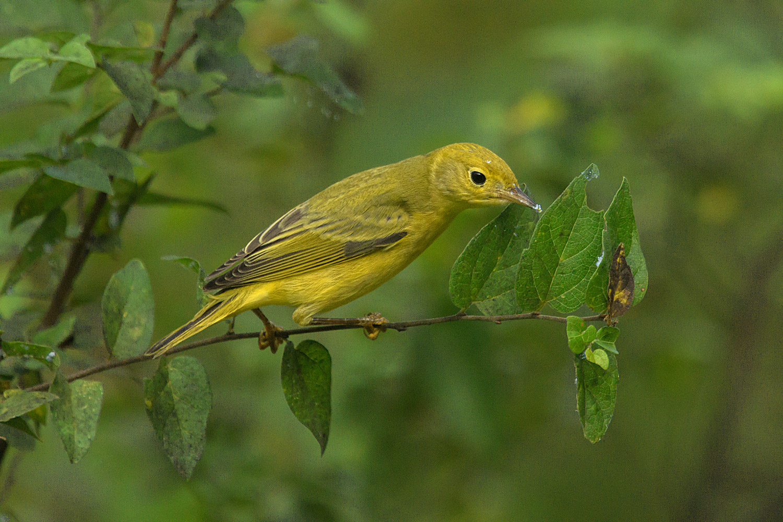 Yellow Warbler - Frontera Audubon Center, TX - Sept. 2017