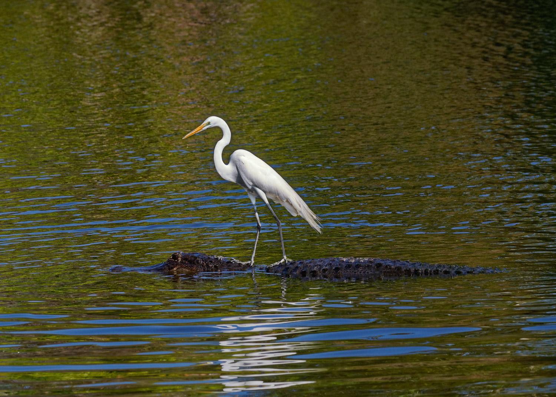 Great Egret - Central Florida - Feb. 2010