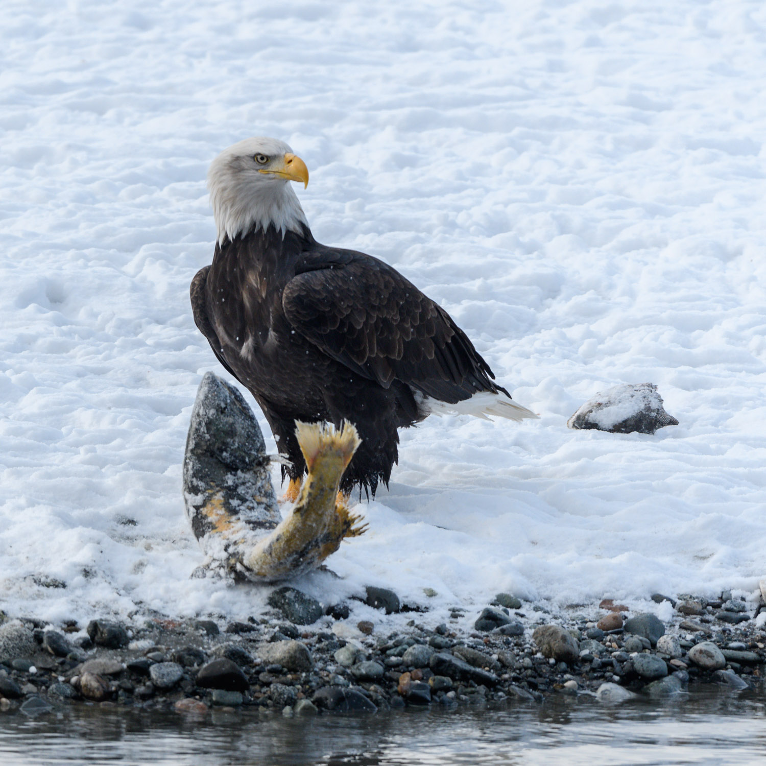 Live salmon pulled ashore by Bald Eagle - Nov. 2017