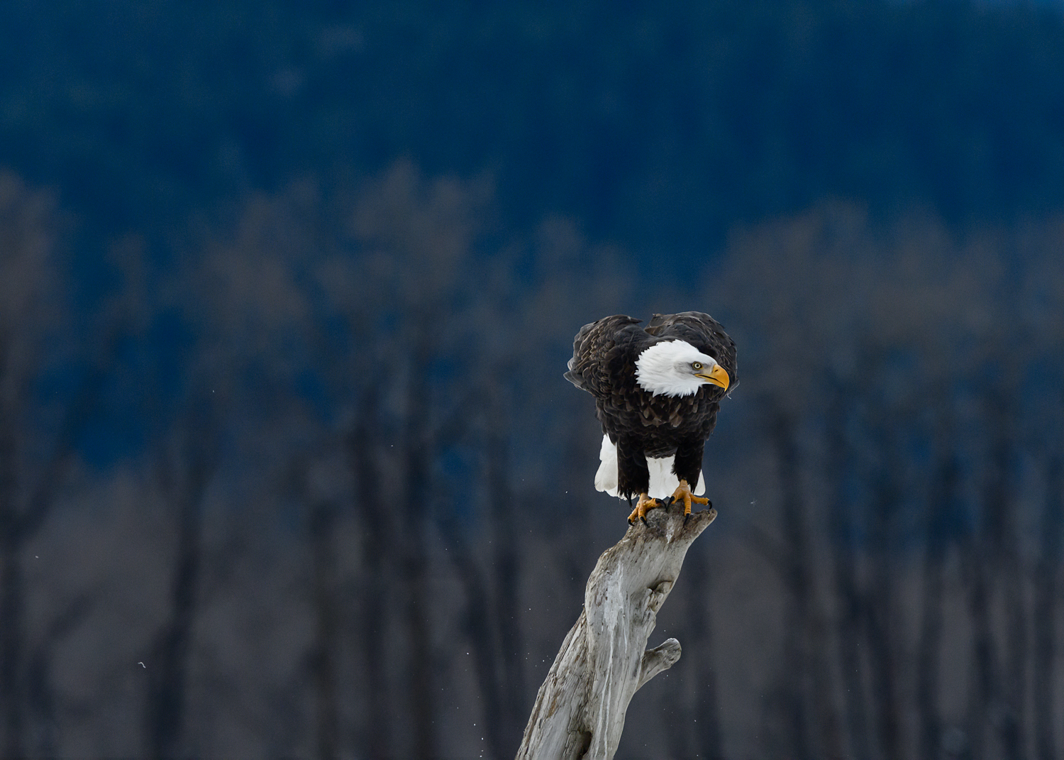 Bald Eagle - Chilkat Bald Eagle Preserve - Nov. 2017