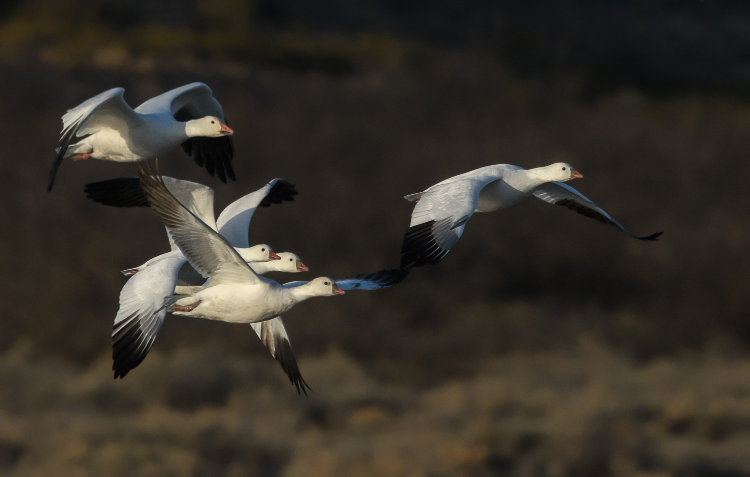 Ross's and Snow Geese