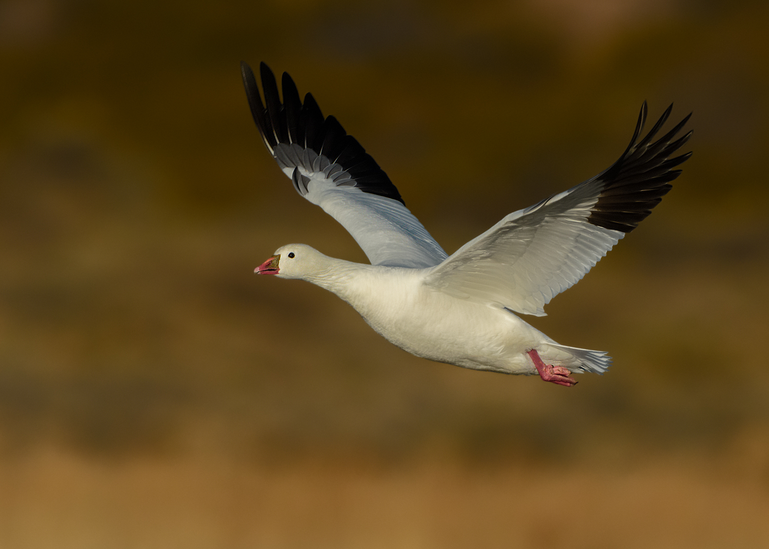 Ross's Goose in fight