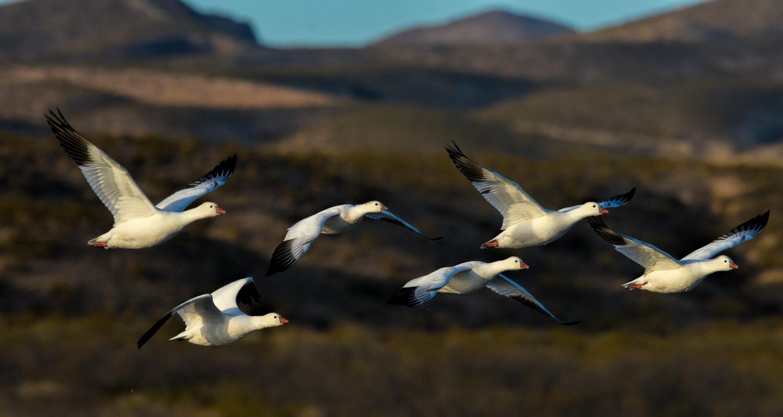 Six Ross's Geese in flight