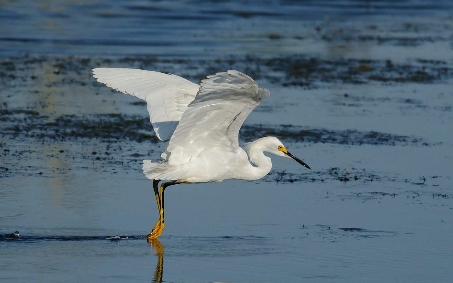 Snowy Egret Foot-dragging, Bayou Sauvage NWR (LA), 2013