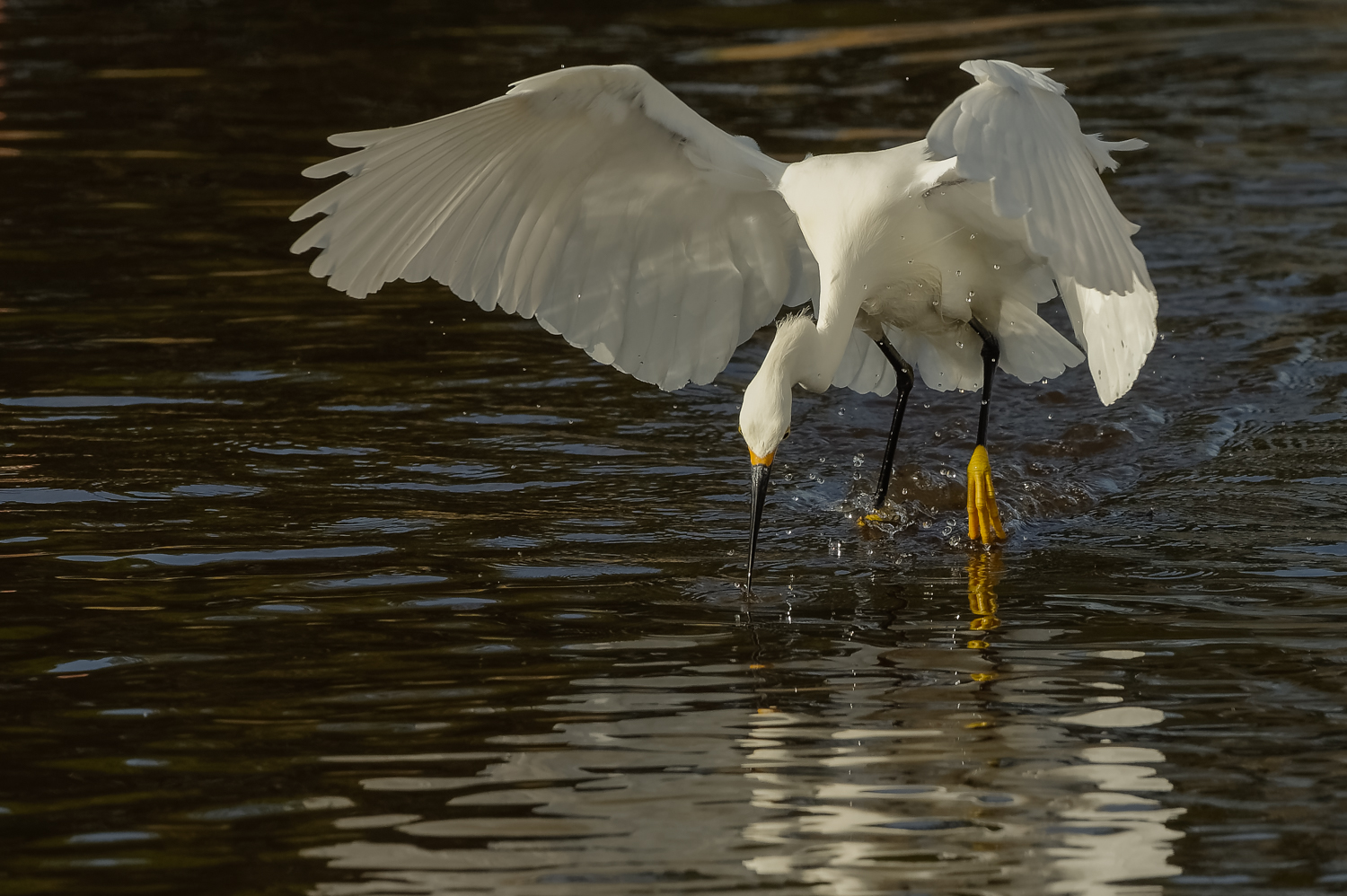 Snowy Egret, Striking while Foot-dragging, Merritt Island NWR (TX), 2015
