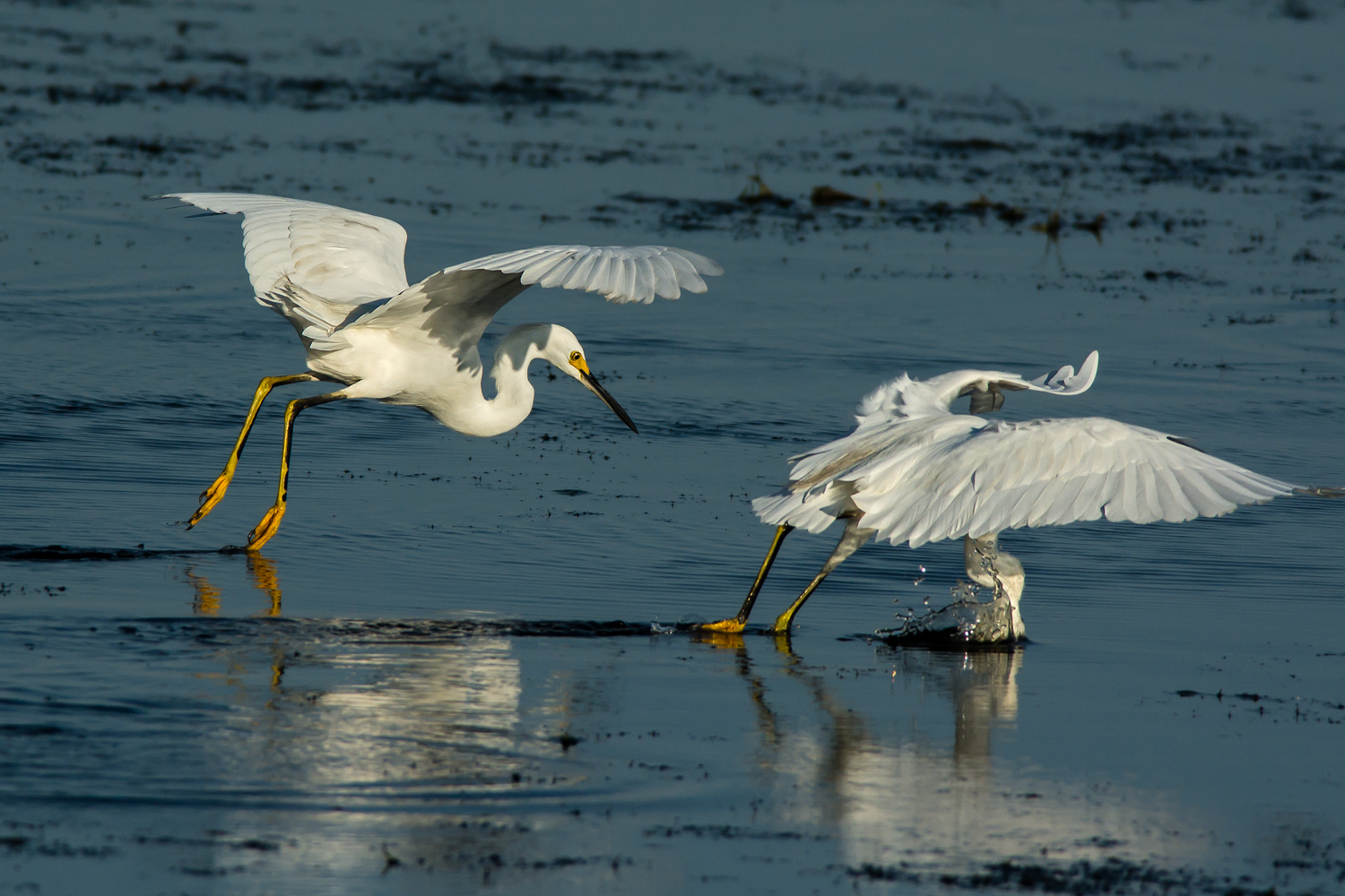 Snowy Egret, Striking while Foot-dragging, Bayou Sauvage NWR (LA), 2013