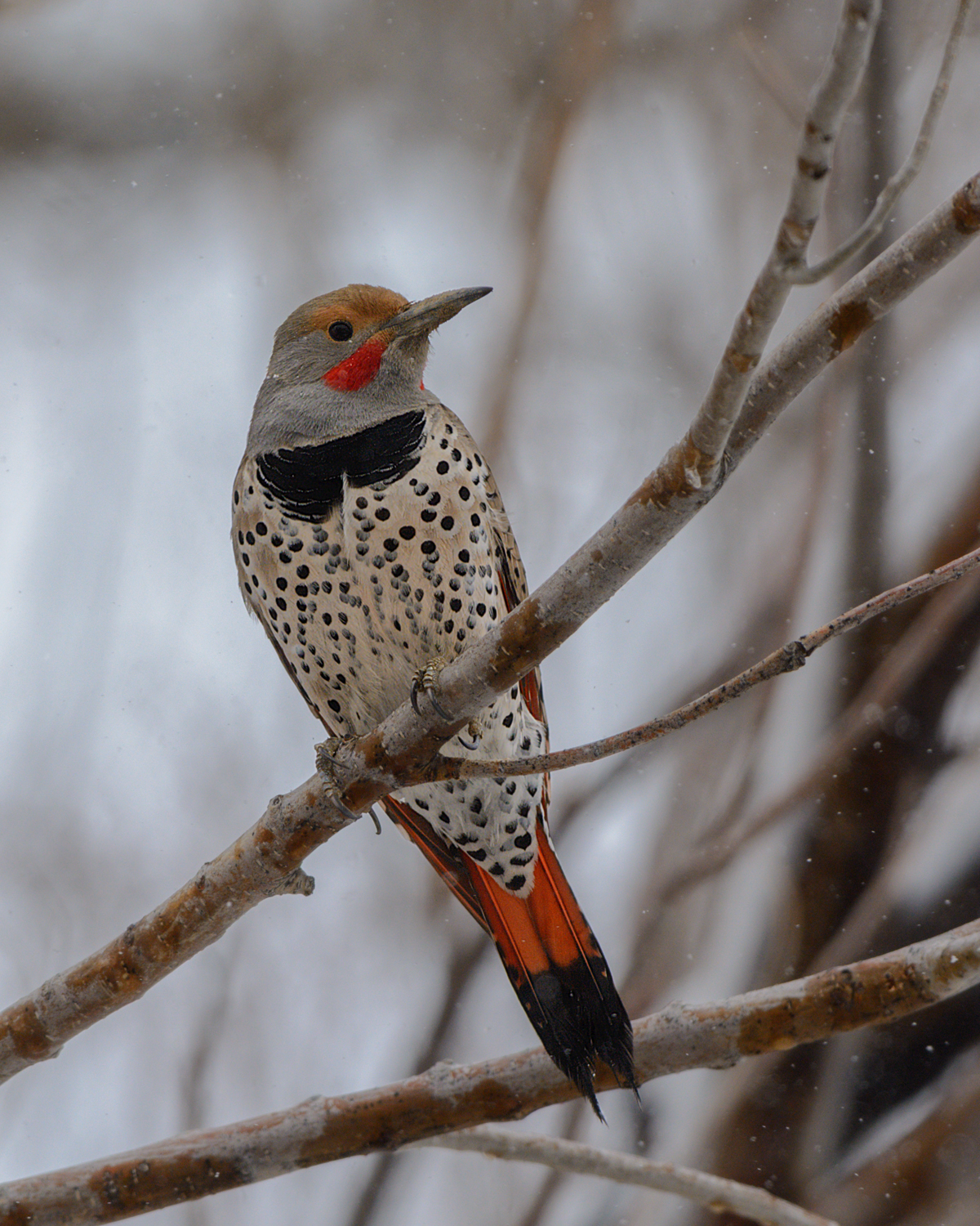Northern Flicker (Red-shafted), Steamboat Springs area (CO) - 2014