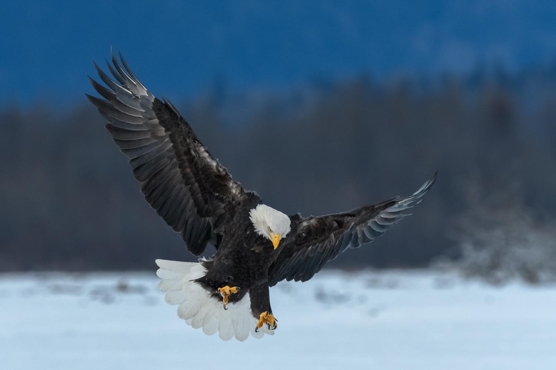 Bald Eagle, Chilkat Bald Eagle Preserve near Haines, AK - Nov. 2017