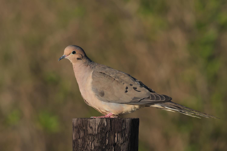 Mourning Dove, Anahuac NWR (TX) - Feb. 2016