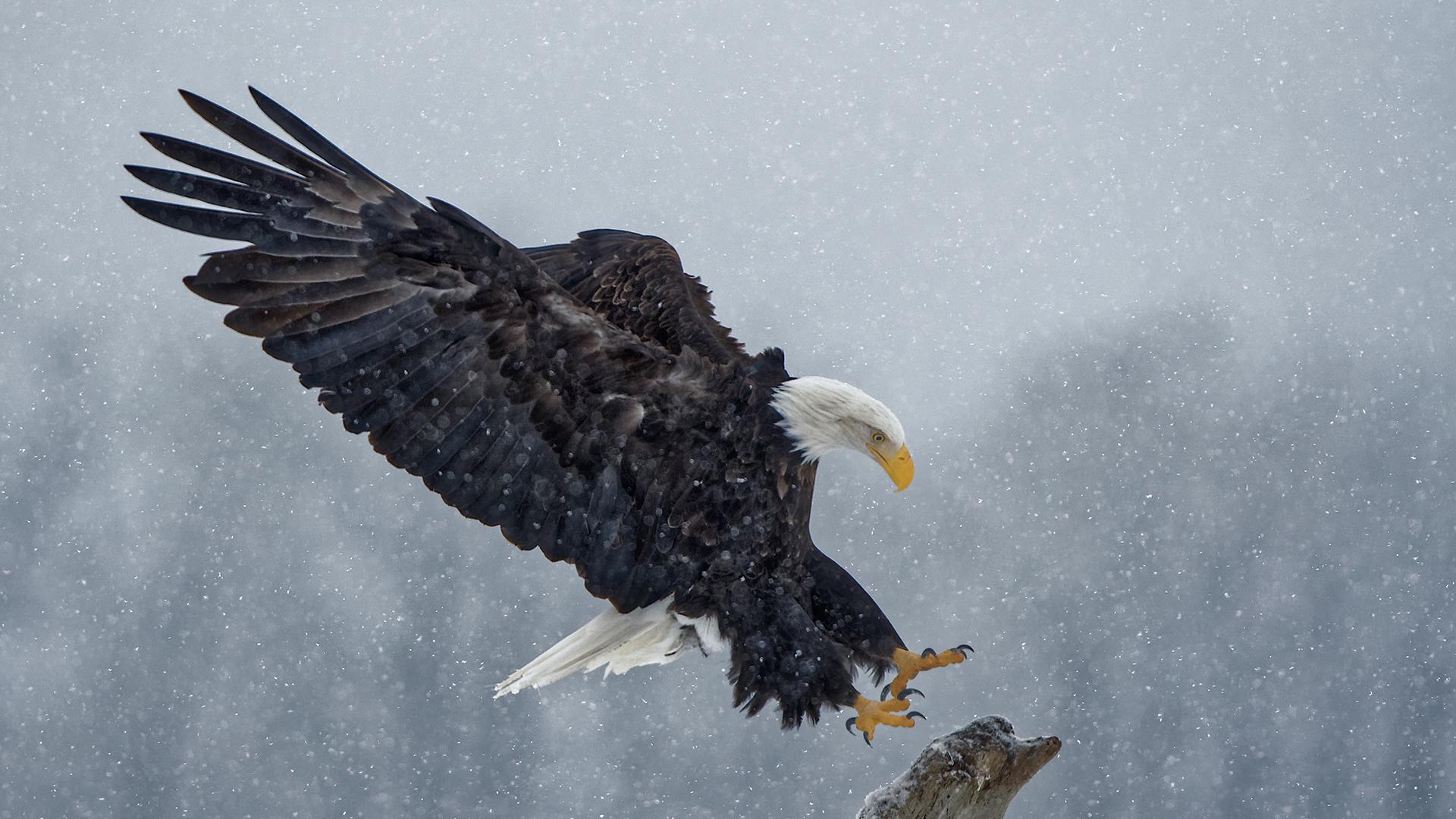 Bald Eagle - Haines, Alaska