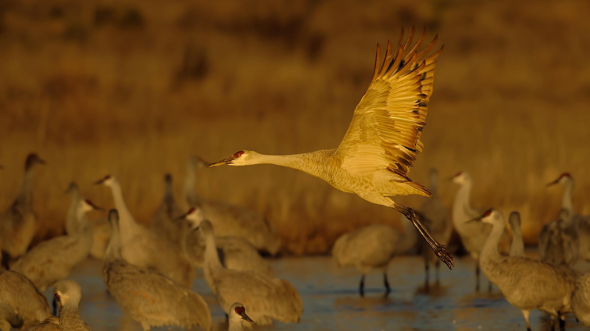 Sandhill Cranes at sunrise - Bosque del Apache NWR, New Mexico
