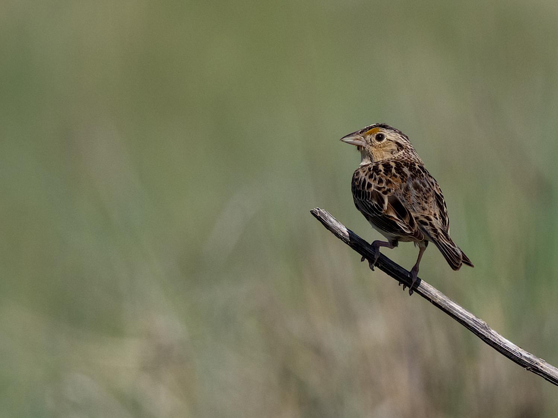 Grasshopper Sparrow (1 of 9)