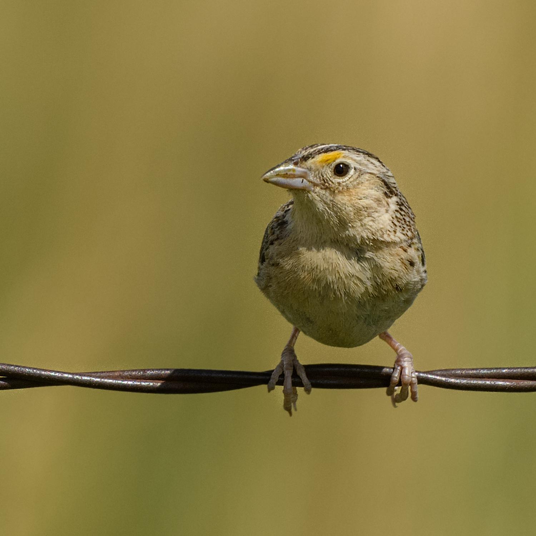 Grasshopper Sparrow (2 of 9)