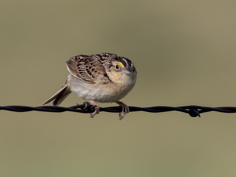 Grasshopper Sparrow (3 of 9)