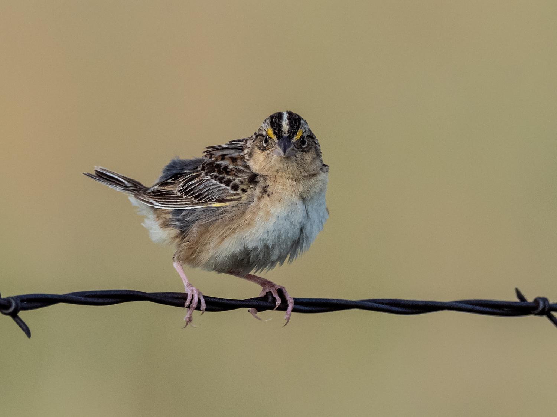 Grasshopper Sparrow (4 of 9)