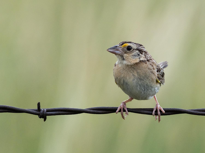 Grasshopper Sparrow (5 of 9)