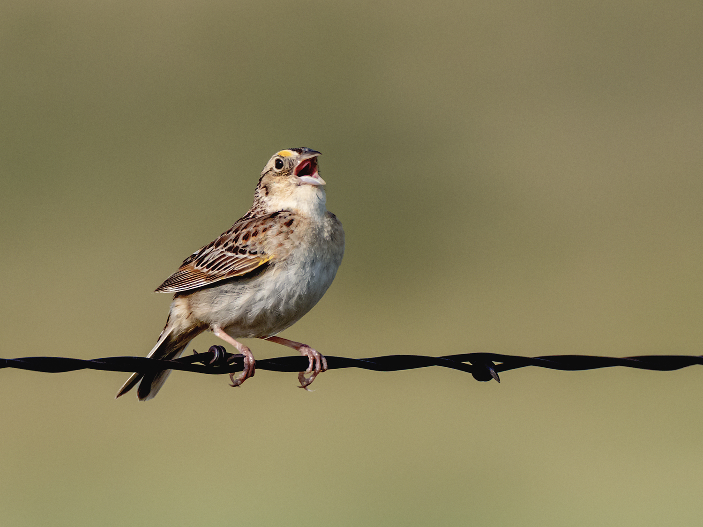 Grasshopper Sparrow (8 of 9)