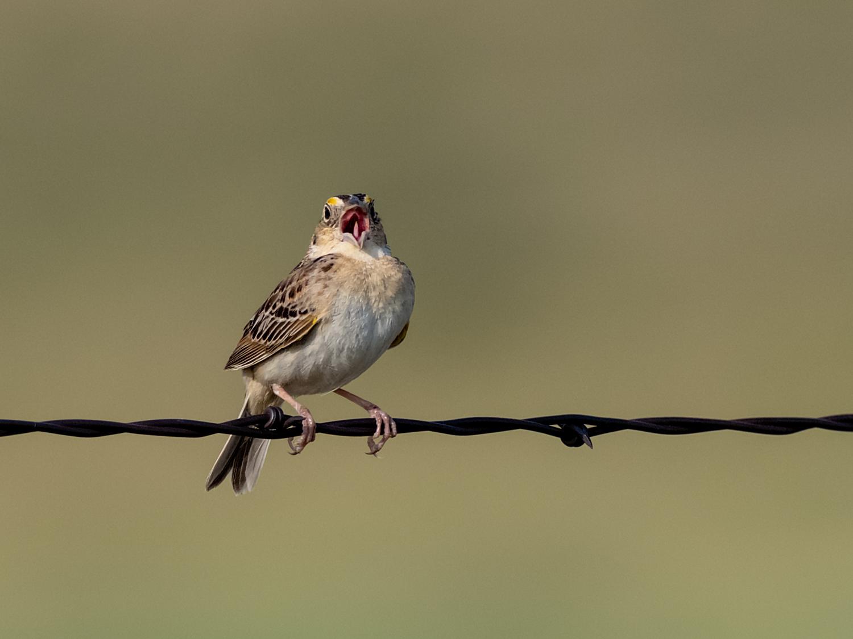 Grasshopper Sparrow (9 of 9)