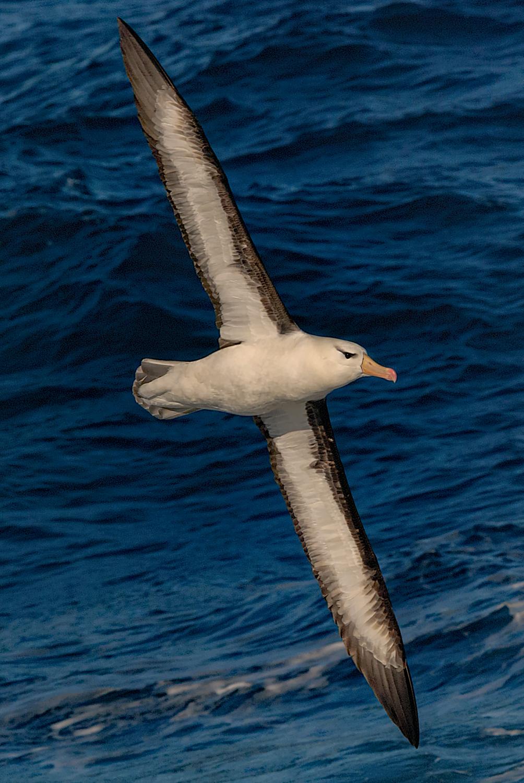 Black-browed Albatross, Antarctica, March 2008