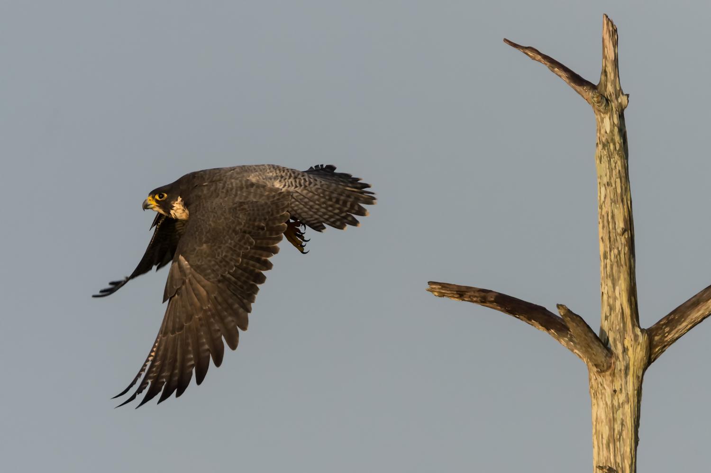 Peregrine Falcon, Viera Wetlands (FL), Dec. 2014